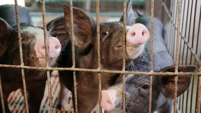 Why Farmed Animals Deserve More Support Giving Compass