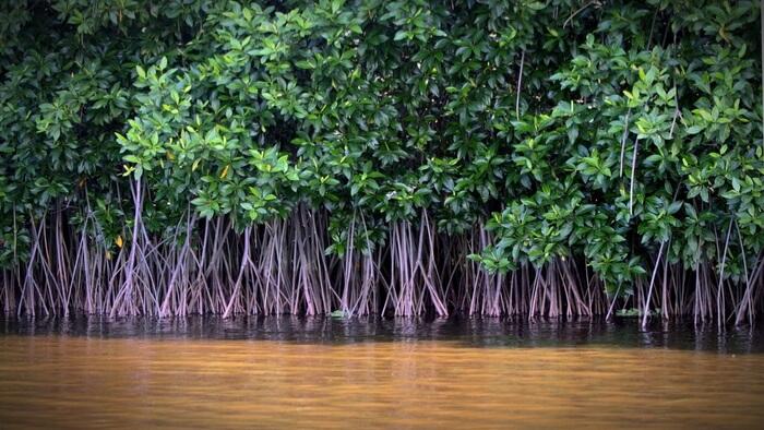 How Mangroves Protect Coastlines And Store Carbon