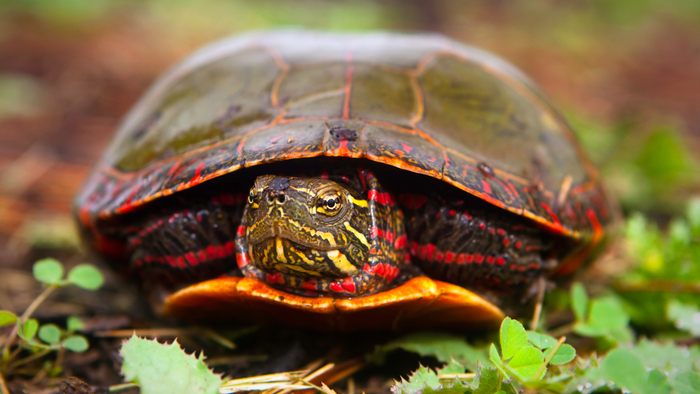 Painted Turtles Threatened by Rising Temperatures Giving Compass
