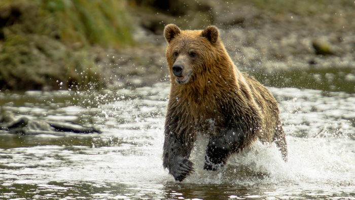 Yellowstone Grizzly Bears are Back on the Protected Species List