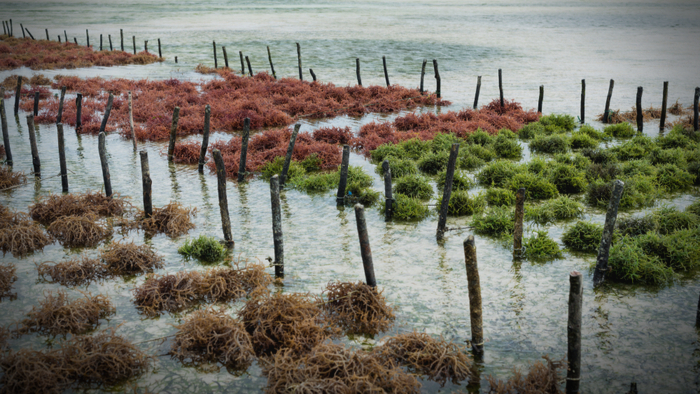 How Seaweed Farming Can Help Fight Climate Change Giving Compass