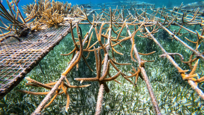 Coral Nurseries Can Shelter Threatened Species
