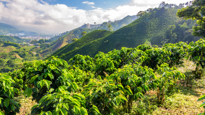 Climate Change Threatens Colombia's Smallholder Coffee Farms giving compass